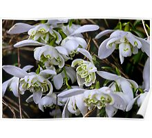 Woodland snowdrops Poster