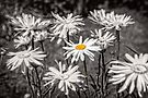 Daisies - selective colour by PhotosByHealy
