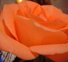A Peach Rose by e  owen