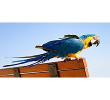 Macaw Extended Photographic Print