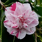 Almost edible - Candy-stripe Camelia by Rivendell7