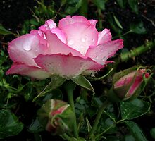 Pink and white rose with raindrops by Karen Doidge