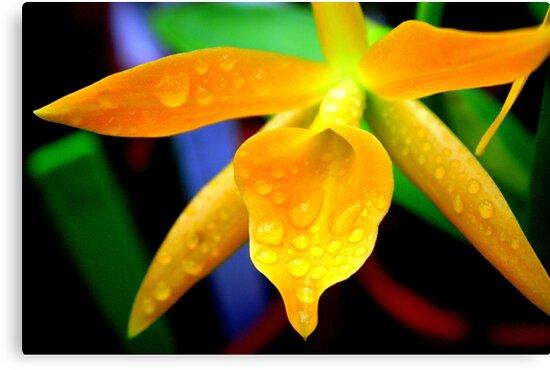 Yellow Pontinara Orchid (Cherub; Spring Daffodil) by Laurel Talabere