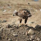 Juvenile Bald Eagle Feeding by H & B Wildlife  Nature Photography