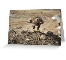 Juvenile Bald Eagle Feeding Greeting Card