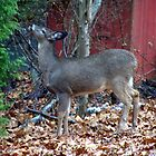 Back Yard Deer by marksphotos20