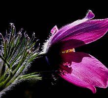 Purple Pasque Flower with dark background by KerstinB