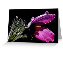 Purple Pasque Flower with dark background Greeting Card