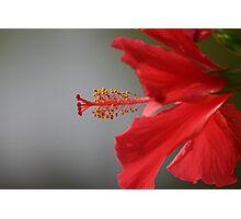_Hibiscus_ Photographic Print