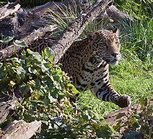 Pacing Jaguar by JWallace