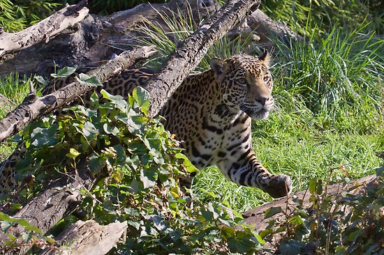 Pacing Jaguar by JWallace