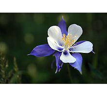 Rocky Mountain Columbine Photographic Print