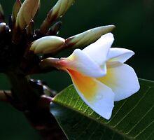 White Frangipani Flower by Nickie