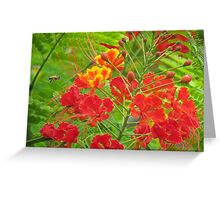 Miniature poinciana tree flowers Greeting Card