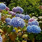 Blue Hydrangeas by SunriseRose