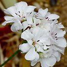 Common Garden Geranium by Jennifer Craker