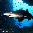Grey Nurse Shark by Aengus Moran