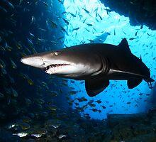 Grey Nurse Shark by Aengus Moran