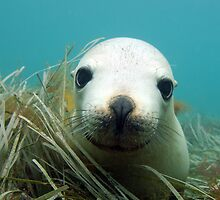 Australian Sea Lion by Aengus Moran