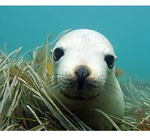 Australian Sea Lion Photographic Print