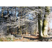 Frosty beeches 1 Photographic Print