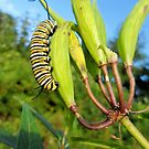 Caterpillar munching milkweed on a spring day. by Barberelli