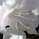 White Dwarf Rhododendron by jacqi