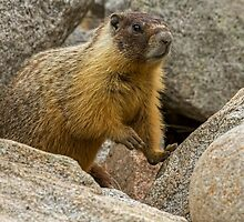 YELLOW-BELLIED MARMOT by Sandy Stewart