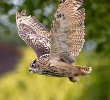 European Eagle Owl in Flight by JamieP