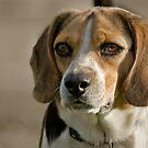 Beagle by Idil
