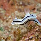 Nudibranch - Chromodoris lochi by Andrew Trevor-Jones