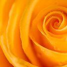 Cream Rose. by Sherstin Schwartz