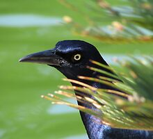 Grackle by Shawn Powell