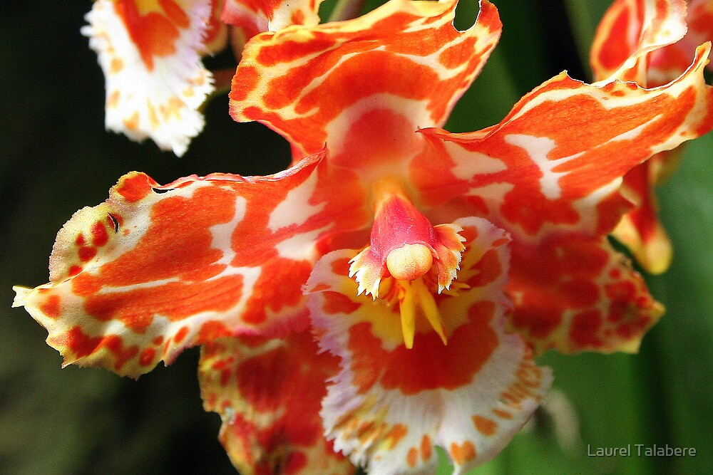 Orange & White Orchid  by Laurel Talabere