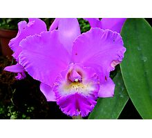 Lavender Orchid (cattleya) Photographic Print