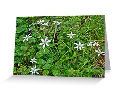 Star Of Bethlehem Wildflowers - Ornithogalum umbellatum - Grass Lily Greeting Card