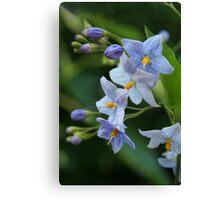 "blue  solanum jasminoides (""potato vine"") Canvas Print"
