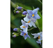 "blue  solanum jasminoides (""potato vine"") Photographic Print"