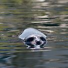 Seal Swimming by zpaperboyz