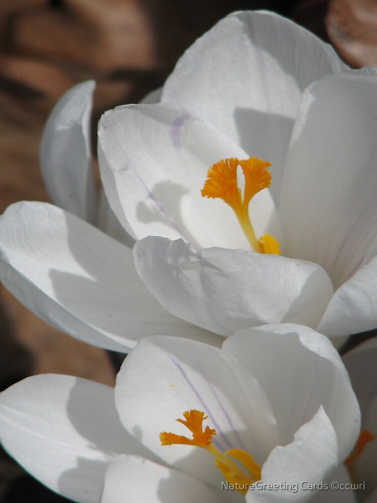 ~White Spring~ by NatureGreeting Cards ©ccwri