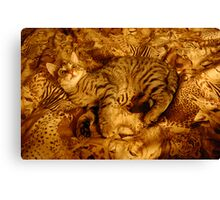 Tiger my dear pussy-cat. Canvas Print
