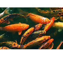 KOI FISH... Photographic Print