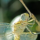 Dragonfly Closeup by goingdown