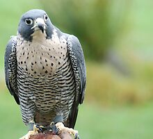 Peregrine Falcon by Edith Farrell