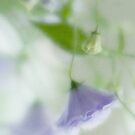 Campanula Dreams by Ann Garrett