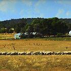 Heaps of Sheep by myraj