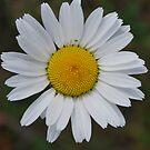 Daisy by Julie Sherlock