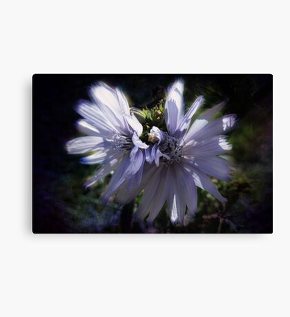 Chicory Flowers Canvas Print