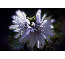 Chicory Flowers Photographic Print