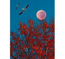 Moonlit Pelicans Photographic Print